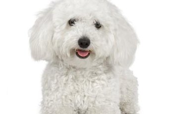 Bichon frise puppies are popular family pets.