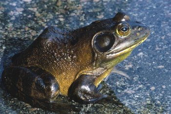 Bullfrogs are noisy neighbors.