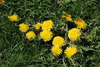 Some weeds in your yard actually have medicinal properties.