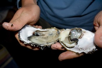 Oysters provide a rich source of zinc and copper.