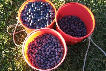 The anthocyanins in blueberries help strengthen collagen fibers.