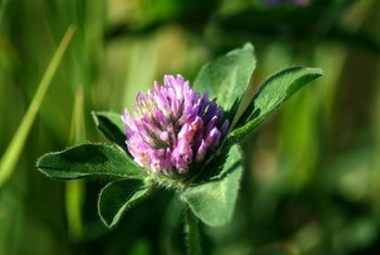 Red clover contains phytochemicals called isoflavones.