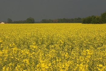 The bright-yellow rapeseed plant is the source of canola oil.