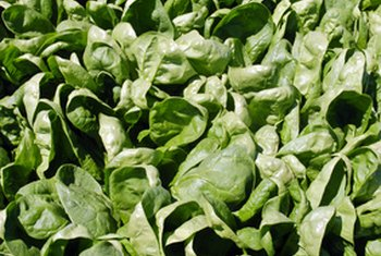 Spinach is nutrient-dense when it is first harvested.