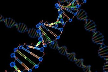 The DNA double helix stores the genetic information of your body.