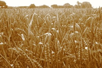 Loamy soil, a mixture of sand, silt and clay, provides the best growing environment for wheat.