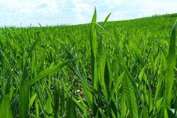 Wheatgrass is rich in many nutrients.