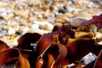 Sea kelp contains a high amount of iodine, which may benefit people with hypothyroidism.