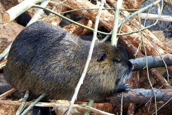 Beavers are members of the rodent family.