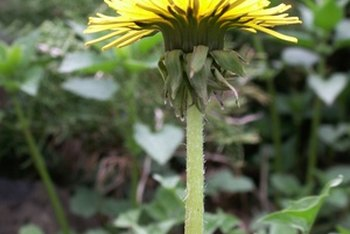 Dandelion greens can be consumed raw or cooked.