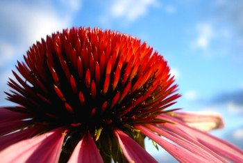 Echinacea is both ornamental and medicinal.