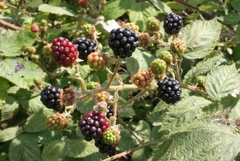 Because of their flavonoid content, blackberries may be a more powerful antioxidant source than strawberries.