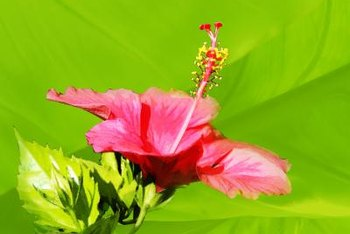 """Disco Belle"" hibiscus is available in many bright colors."
