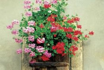 Mixing flower colors in a pot gives a vibrant display.