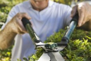 Sterilizing hedge shears after every use helps keep plants healthy.