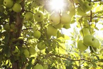 An apple tree produces as much as 15 to 20 bushels of fresh fruit per year.