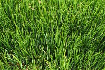 Apply Roundup to healthy grass for the best control.