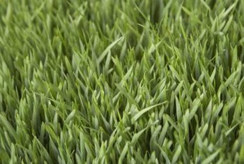 Mow St. Augustine grass when it reaches 1 1/2 to 3 inches tall.