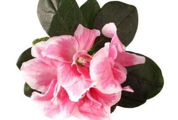 Attractive large flowers make azaleas popular potted plants.