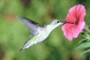 Hummingbirds and butterflies feed on the nectar of petunia plants.