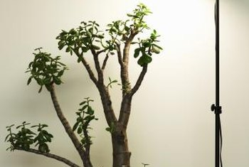 Drooping branches on jade plants should be cut back to the main trunk.