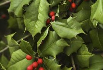 Evergreen tree and shrub berries are usually poisonous to humans.
