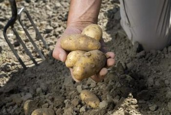 Yukon Gold potatoes mature in 85 to 90 days.