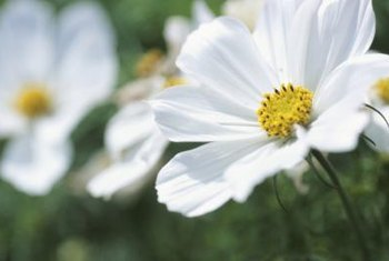 White cosmos complements the white garden with Summer Snowflake viburnum.