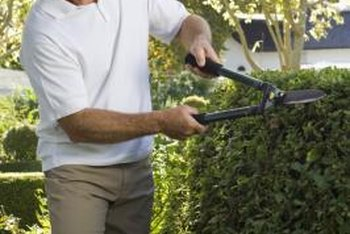 Cut hedges a bit at a time to avoid scalping them.