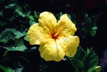 "Use several ""Hula Girl"" hibiscus plants to form a lush hedge."