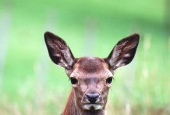 It is important to rotate your home remedies every so often so that deer do not become wise to your control methods.