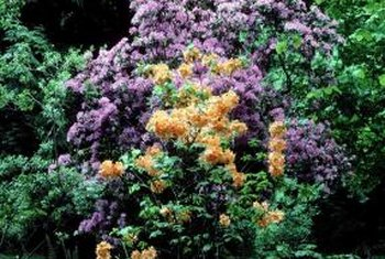 A rhododendron's natural shape fits well in informal gardens.