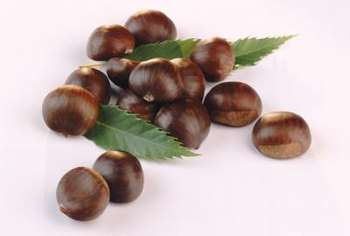 Chestnuts are traditionally harvested in autumn.