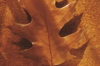 Pin oak leaves sometimes turn bronze or brown naturally.