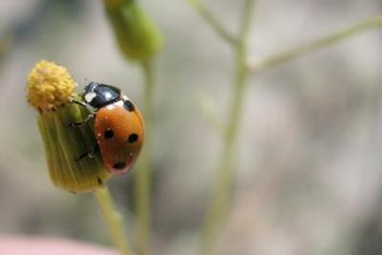 Ladybugs can eat up to 150 whitefly eggs each day.