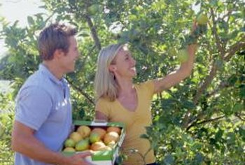 Managing fruit trees includes yearly fertilizer and spraying for pests and diseases.