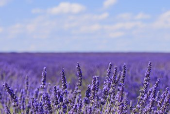 Lavender flowers have a fresh, aromatic fragrance that is often used in soaps and perfumes.
