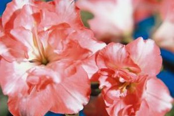 Pinch fading blossoms from azalea bushes to promote healthy growth.