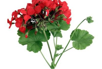 Geraniums brighten up your home, both inside and out.