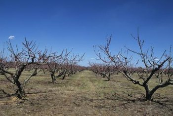 Winter is the best time to notice the framework of trained fruit trees.