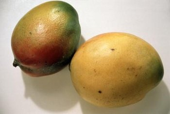 Mango fruit is a tropical treat.