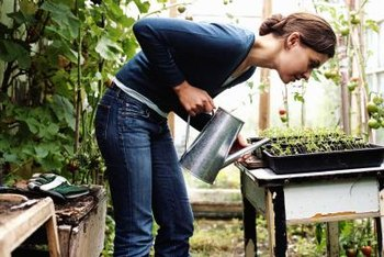 Protect the growing seedlings in a greenhouse and water them regularly.