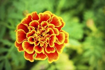 Marigolds are noted for their bright, scented flowers.