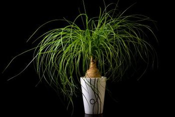 Ponytail palms grow best in smaller pots.