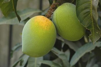 Seeds from unripened mangoes are not likely to sprout.