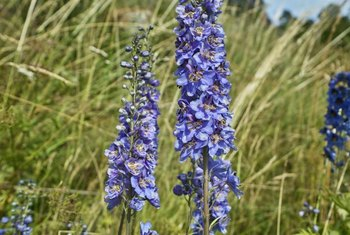 "The name ""monkshood"" refers to the hooded shape of the flower."