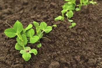 Beneficial bacteria support healthy, productive peas.
