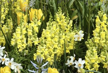 Try planting yellow tulips and snapdragons together for maximum drama.