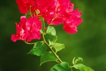 The many varieties of bougainvillea feature pink, purple, orange, white and yellow blossoms.