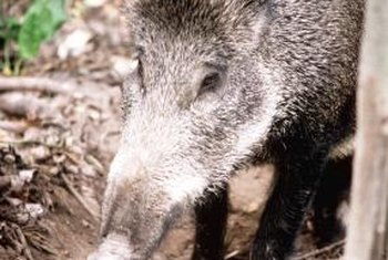 Wild pigs root in the ground for grubs and other foods.